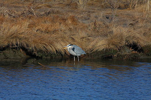 Great Blue Heron7 by George Miller
