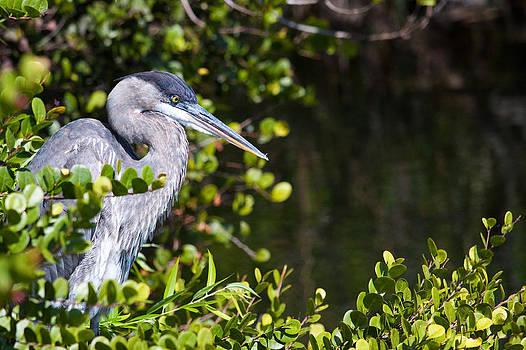Adam Pender - Great Blue Heron