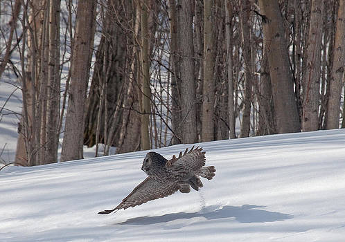 Great Grey Owl taking off by Sam Amato