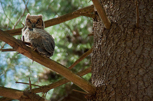 Great Horned Owlet by Ron Smith