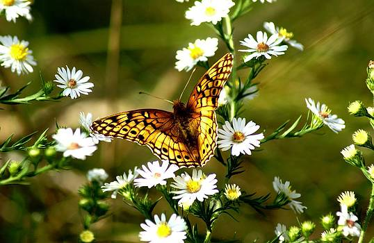 Great Spangled Fritillary by L Granville Laird