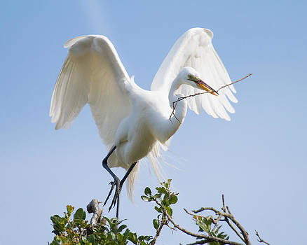 Great White Egret by Bill Swindaman