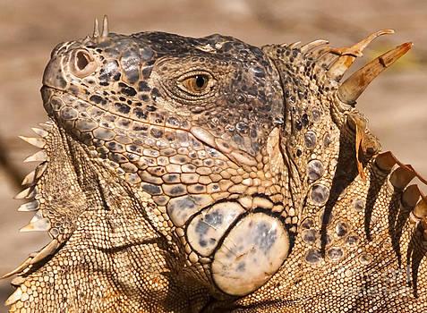 Green Iguana by Charles Dobbs