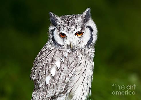 Simon Bratt Photography LRPS - Grey owl perched