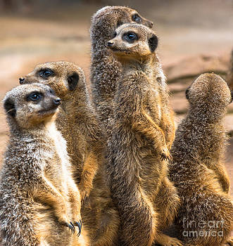 Group of Meerkats by Andrew  Michael