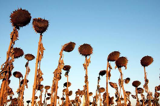 BERNARD JAUBERT - Group of sunflowers wilted in the sunrise