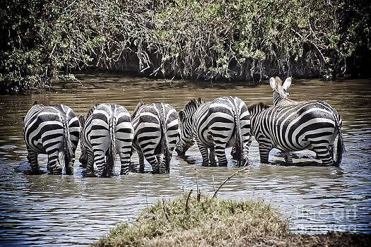 Darcy Michaelchuk - Group of Zebra Cautiously Drinking