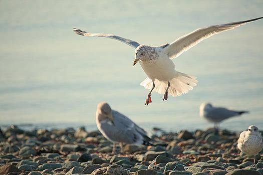 Karol  Livote - Gull Landing