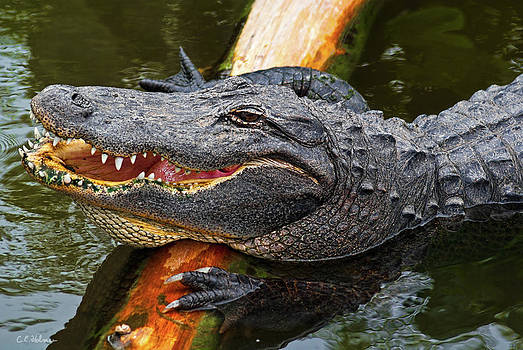 Christopher Holmes - Happy Gator