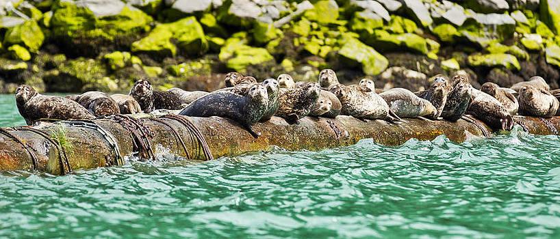 Harbour Seals by Brandon Broderick