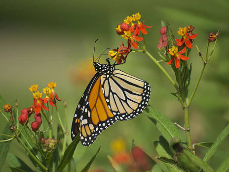 Michael Peychich - Hawaiian Monarch 2