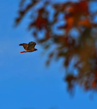 Hawk In Flight by Peter  McIntosh