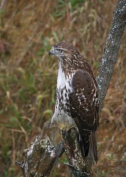 Hawk by Joan Powell