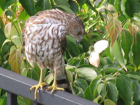 Hawk by Monica Cranswick