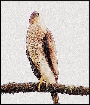 YoMamaBird Rhonda - Hawk