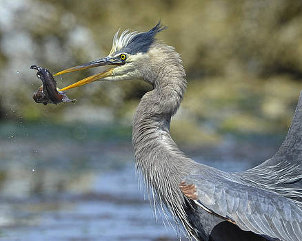 Heron catches fish by Sasse Photo