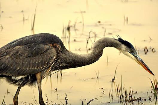 Marty Koch - Heron Fishing