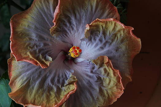 Hibiscus 2 by Bridget Finn