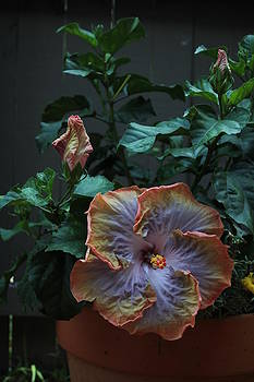 Hibiscus 3 by Bridget Finn