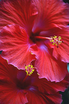 Hibiscus Duo by Sandi OReilly