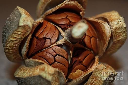 Hickory Nut by Jaime  Manning