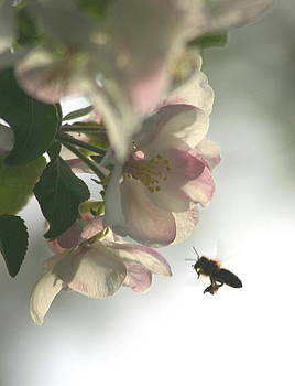 Honey Bee And Apple Blossoms by Laurie Penrod