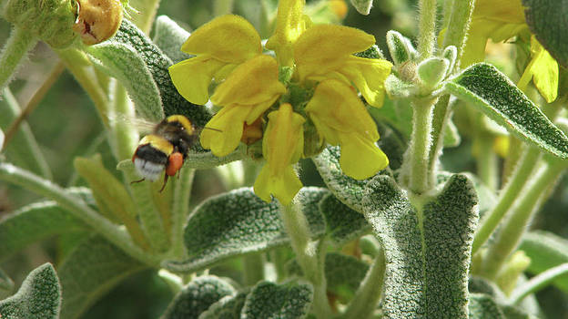 Honey Bee collecting Pollen by Alison Quine