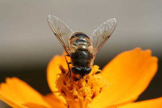 Honey Bee by Laura Tucker