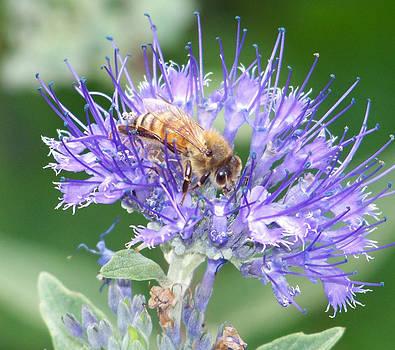 Honeybee in Flower by Stephen Janko