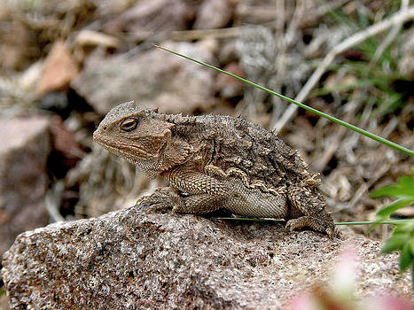 FeVa  Fotos - Horned Toad