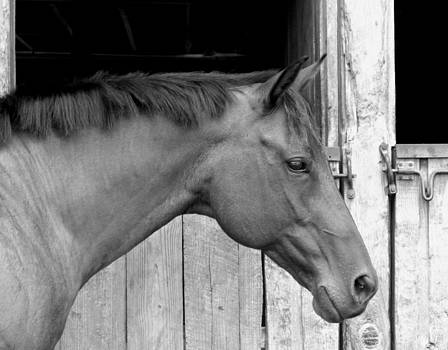 Horse Portrail Black and White by Sandi OReilly