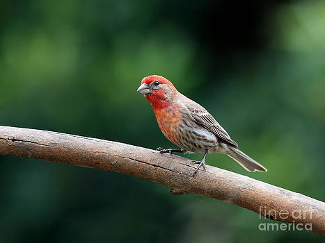 Wingsdomain Art and Photography - House Finch Bird . 40D7316