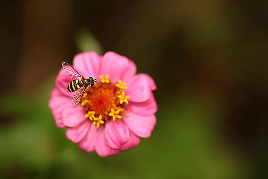 Hover Fly 1 by Mark Gilmore