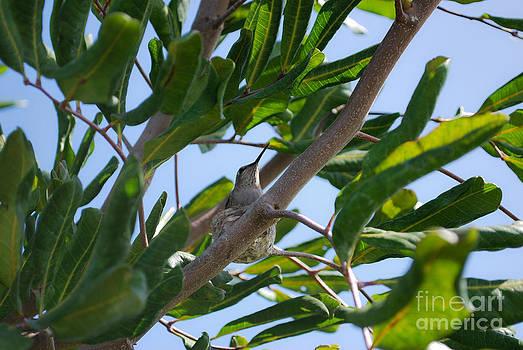 Humming Bird 4 by Stephanie Haertling