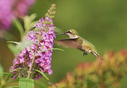 Hummingbird 2 by Cheryl Cencich