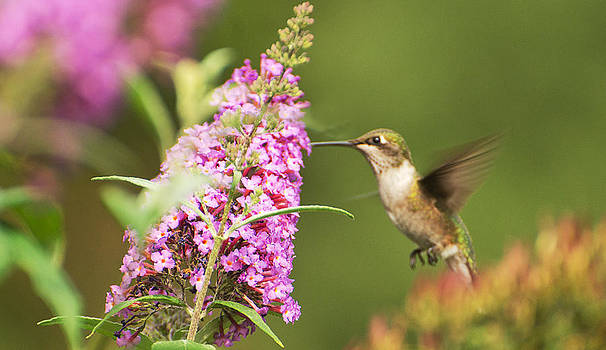 Hummingbird 3 by Cheryl Cencich
