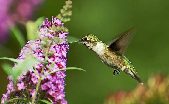 Hummingbird 4 by Cheryl Cencich