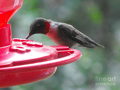 Hummingbird Feeding by April  Robert