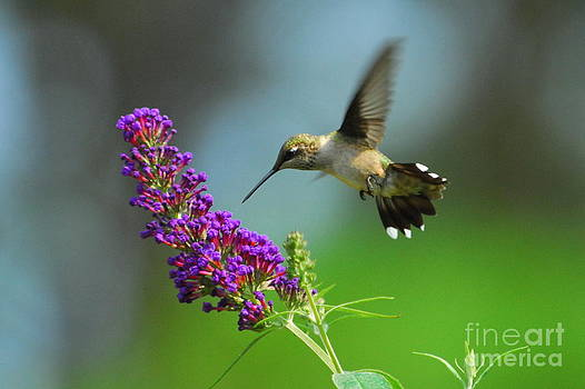 Hummingbird II by Curtis Brackett