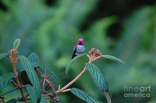 Hummingbird by Marsha Thornton