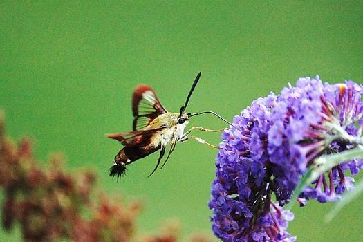 Hummingbird Moth 1 by Jody Neugebauer