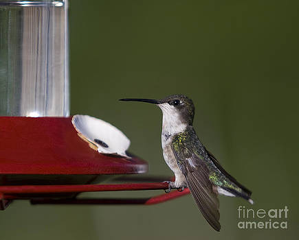 Hummingbirg  Colibri by Nicole  Cloutier Photographie Evolution Photography