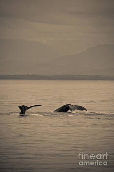 Darcy Michaelchuk - Humpback Tails in Sepia