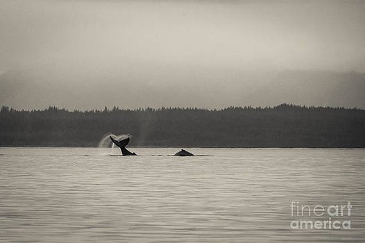 Darcy Michaelchuk - Humpback Whales Waving