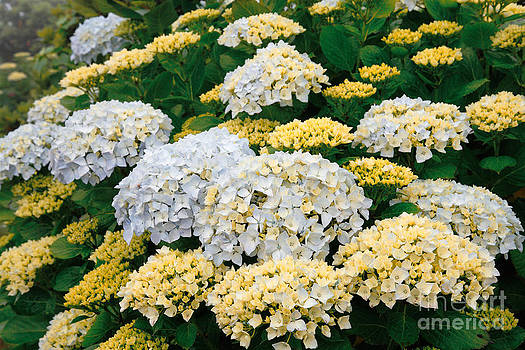 Gaspar Avila - Hydrangeas blooming