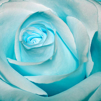 Ice Blue Rose by Pixie Copley