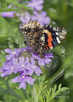 Intriguing Butterfly by Carrie Clarke-Hooge