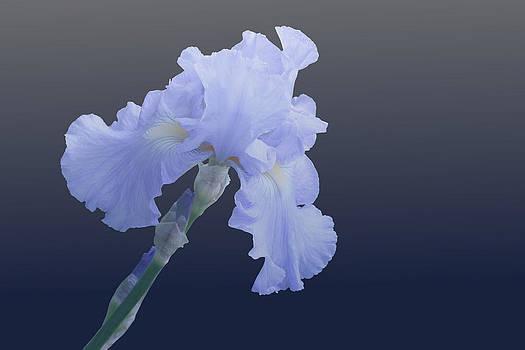 Iris by Anthony Wilder