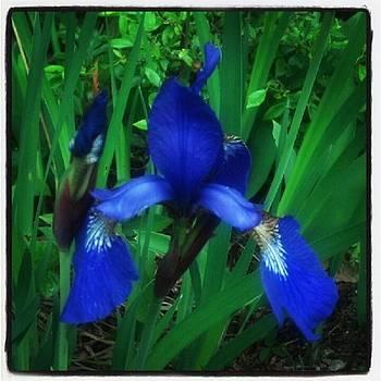 Iris by Christy Bruna