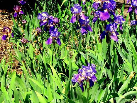 Iris Garden by Amy Bradley